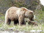 Yukon Grizzly sow and cubs
