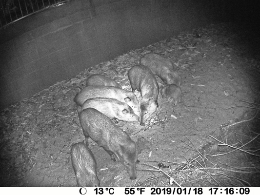 8 javelina game camera
