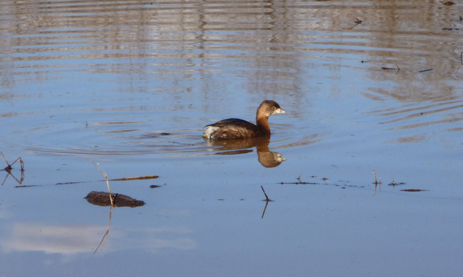 Cinnamon teal duckly Patagonia Lake State Park AZ