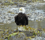 Bald Eagle Ketchikan AK