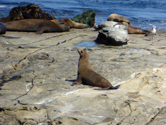 Sea Lion on rocks