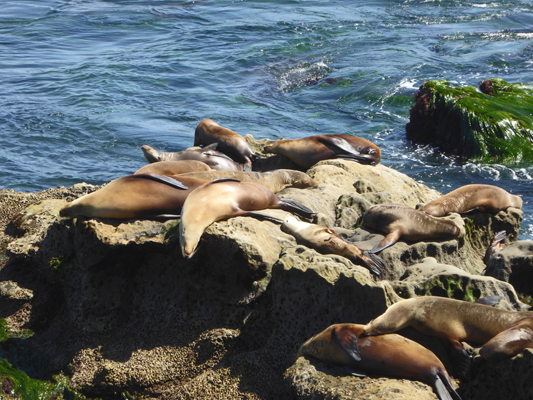 Sea lions lolling on rocks