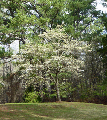 Dogwood at Wall Doxey State Park