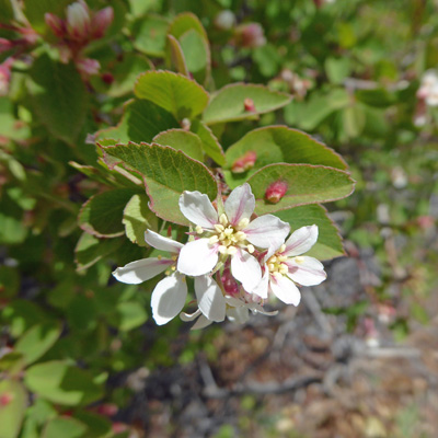 Serviceberries (Amelanchier alnifolia)