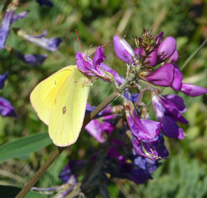butterfly on common vetch