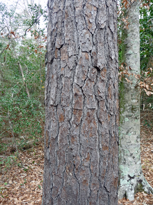 Loblolly Pine bark