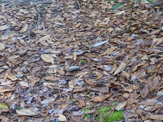 Bay and beech leaves on trail
