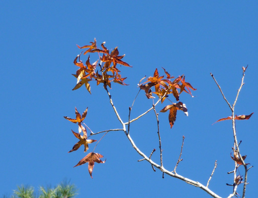 Liquidambar tree leaves