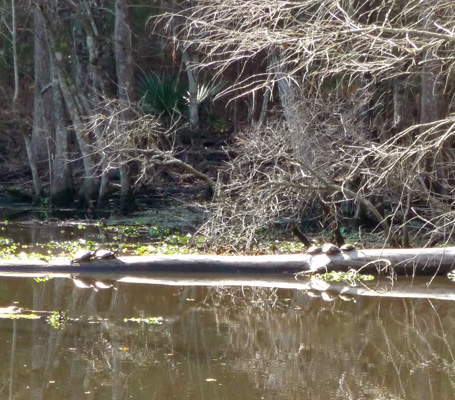 5 turtles on a log
