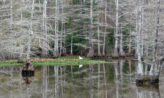 Egret in Cypress Swamp