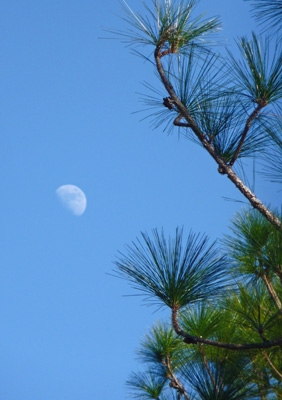 Partial moon and pine boughs