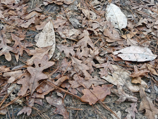 Leaf litter Big Thicket