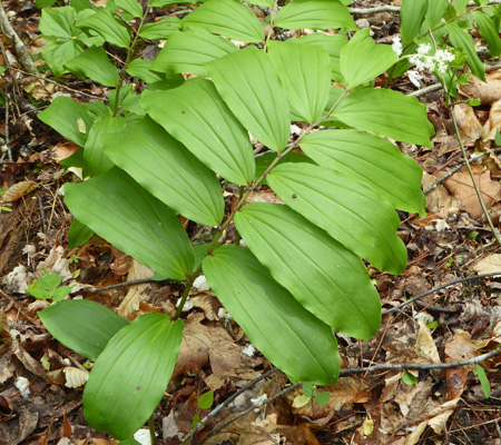 False Solomon's Seal (Smilacina racemosa)