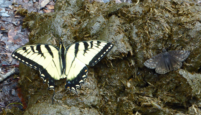 Two butterflies on horse manure