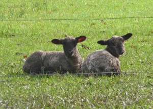 Pair of lambs Eugene OR
