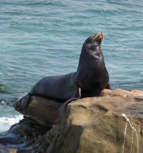 California Sea Lion on the rocks by The Cove La Jolla CA