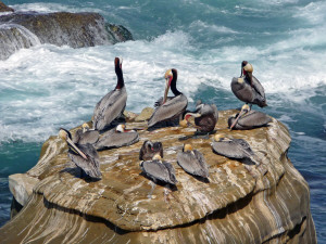Brown Pelicans on rocks near Children's Pool La Jolla CA