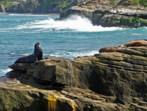 California Sea Lions on the rocks by The Cove La Jolla CA