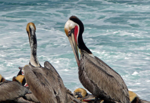 Closeup of Brown Pelican on rocks near Children's Pool La Jolla CA