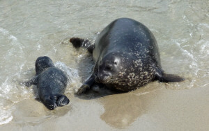 Harbor seal mom and pup in water La Jolla CA