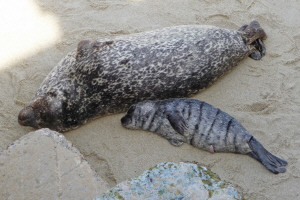 Harbor sea mother and pup La Jolla CA