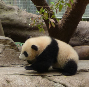 Yun Zi, baby panda at the San Diego Zoo CA