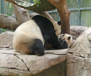 Bai Yun and her baby Yun Zi, pandas at the San Diego Zoo, CA