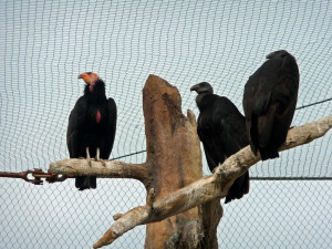 California Condors at San Diego Zoo CA