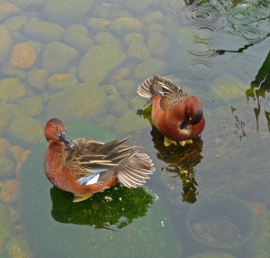 Cinnamon Teals at San Diego Zoo CA