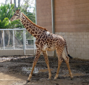 Baby giraffe at San Diego Zoo CA