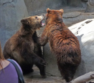 Grizzly Bear Cubs mock fighting at San Diego Zoo CA