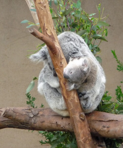 Mother and baby Koala at San Diego Zoo, CA