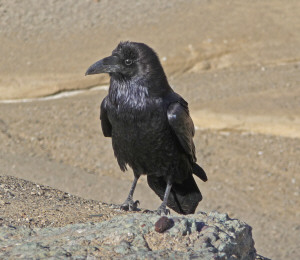 Raven at Artists Pallet Death Valley National Park CA