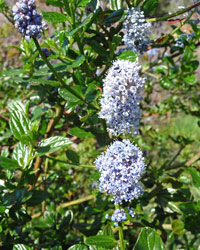 California Lilac (Ceanothus confusus) at Big Sur CA