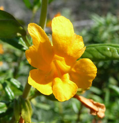 Wide-throated Yellow Monkeyflower (Mimulus brevipes) at Big Sur CA