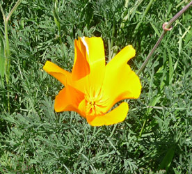 California Poppies (Eschscholzia californica) at Big Sur CA