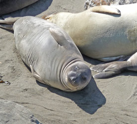 Elephant seal pup on beach north of San Simeon CA