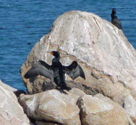 Cormorants at Pacific Grove, CA