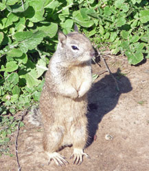 San Simeon Ground Squirrel