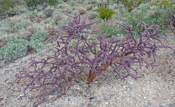Purple Staghorn Cholla