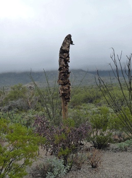 Skeleton of dead Saguaro Cactus