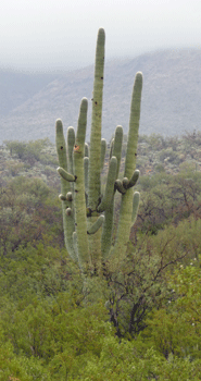 Very old Saguaro cactus at Saguaro National Park AZ