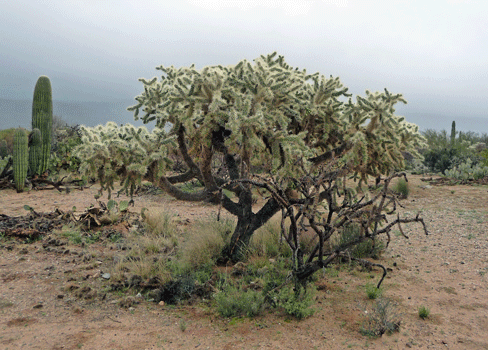 Huge Teddy Bear Cholla at Saguaro National Park East