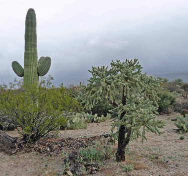 Hanging chain cholla at Saguaro National Park