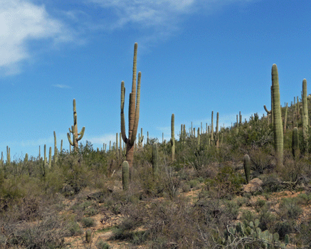 Bajada Loop Saguaro National Park