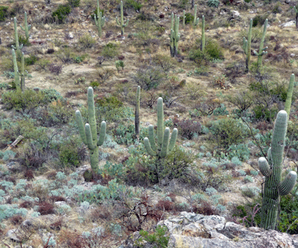 Cactus Loop Drive Saguaro National Park
