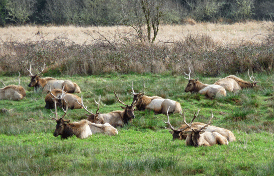 Elk along Umpqua River outside of Reedsport OR