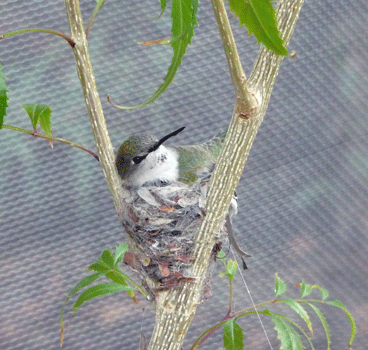 Humming Bird on nest Desert Museum Tucson