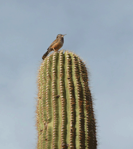 Cactus wren Organ Pipe National Monument campground
