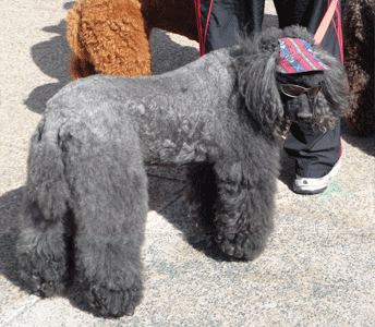 Poodle in Balboa Park San Diego CA